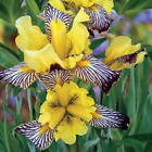 2 Mix Color Bearded Iris Rare High Quality Plants Bulb Stunning Charming Flowers