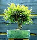 Bonsai Tree Narrow Leaf Ficus NLF 515B