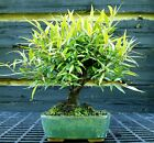 Bonsai Tree Narrow Leaf Ficus NLF 515J