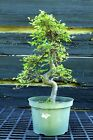 Bonsai Tree Chinese Elm CE12 515B