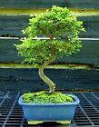Bonsai Tree Chinese Elm CE 613D