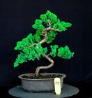 Japanese procumbens na na Juniper bonsai tree  56