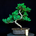 Japanese procumbens na na Juniper bonsai tree  24