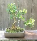 Boxwood Bonsai Tree 8 inch pot Beautiful little tree  Japanese Boxwood