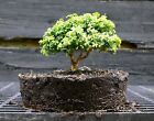 Kingsville Boxwood Bonsai Tree KBC 722B