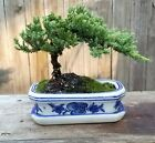 Free shipping for Juniper Pro Nana Bonsai Tree4 inch pot On Sale now