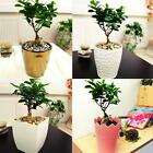 1 FICUS GINSENG INDOOR TREE IN POT LIVE GARDEN HOUSE PLANT DECORATIVE BONSAI