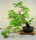 BOUGAINVILLEA FLOWERING TROPICAL BONSAI TREE Semi Cascade