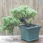 Juniper Procumbens Nana Bonsai Tree Cascade8 inch Blue ceramic pot Beautiful