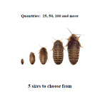 Dubia Roaches Small Medium Large XL Live Feeders FREE SHIPPING
