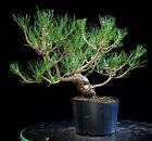Pre Bonsai Tree Japanese Black Pine JBP1G 907C