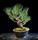 Pre Bonsai Tree Japanese Black Pine JBP 907