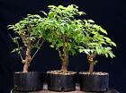 Pre Bonsai Tree Collected American Elm 3 Tree Group CAEG3 1001
