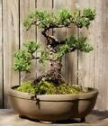 Juniper Pro Nana Bonsai Tree10 inch ceramic pot Low start No reserve Old Tree