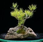 Bonsai Tree Japanese Black Pine JBPLR 1028