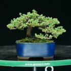 Bonsai Tree Green Mound Juniper GMJ 1028