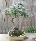 Lorepetalum Bonsai Tree in ceramic green pot Pink Flowers Neagari Style