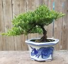 Free shipping for Juniper Pro Nana Bonsai Tree5 Blue  White Porcelain pot