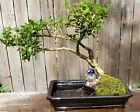 Japanese Boxwood Bonsai Tree12 inch land water ceramic pot Nice and serene