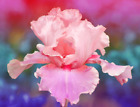 Reblooming Bearded 2 Iris Roots Bulbs Flowers Pink Fresh Fragrant Rhizome Gifts