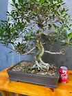 Tiger Bark Ficus Bonsai on clay pot