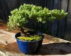 Free shipping for Juniper Pro Nana Bonsai Tree Blue pot On Sale now