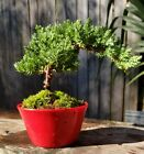Free shipping for Juniper Pro Nana Bonsai Tree Red pot On Sale now