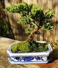 Free shipping for Juniper Pro Nana Bonsai Tree 8 inch Blue white pot and tray