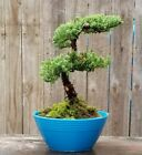 Juniper Procumbens Bonsai tree in a Blue 6 round pot Ships Priority Mail Free