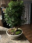 Tiger Bark Ficus Bonsai Nice Movement Big Fat Trunk 25 Years Old