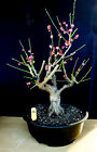 Japanese flowering fruiting Apricot specimen bonsai tree 18
