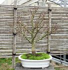 Bonsai Tree Sharpes Pigmy Maple JMSP 109A
