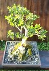 Japanese Boxwood Bonsai Tree14 inch square pot Awesome old tree