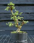 Bonsai Tree Chinese Elm CE12 305C