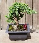 Juniper Procumbens Nana Bonsai Tree Beautiful spring color Black 6 square pot