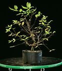 Pre Bonsai Tree Collected American Elm CAE 916G