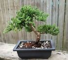 Juniper Procumbens Bonsai tree in a 10 Rectangular pot