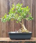 Japanese Boxwood bonsai 10 inch plastic rectangle pot Beautiful Old tree