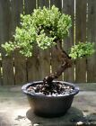 Juniper Procumbens Nana Bonsai 7 1 4 round pot USA made
