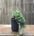 Juniper Procumbens Nana BonsaiCascade with handmade blue pot Made in USA