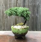 Juniper Procumbens Nana Bonsai Green Speckled 4 Inch Pot6 Made in USA