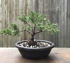 Trained Shimpaku PreBonsai tree in a 7 1 2 inch Oval plastic pot 6 Years Old
