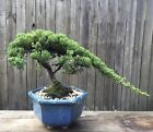 Bonsai Juniper Procumbens nana Blue Ceramic Pot Semi cascading
