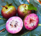 Star Apple Caimito Live Fruit BIG TREE 2 3 Fruit is MEDICINE for the LUNGS