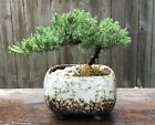 A Bonsai Tree Juniper Procumbens nana in Ceramic pot 4 inch rectangle