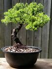 Juniper Procumbens nana Bonsai tree in 8 inch plastic round pot