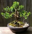 Japanese Boxwood Bonsai in 12 inch oval plastic pot