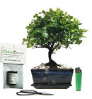 Chinese bird plum sagaritia indoor bonsai tree with Gift set sa15b