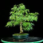 Bonsai Tree Sharpes Pigmy Maple JMSP 626A