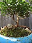 Kingsville Boxwood Bonsai Trained 12 Years Old in Blue Glazed Po